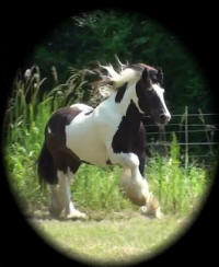 Prince Charming, 2002 imported Gypsy Vanner Horse stallion