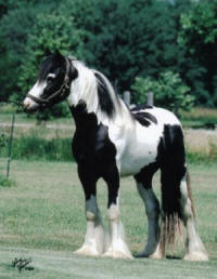 Prince Charming, 2002 Gypsy Vanner Horse stallion