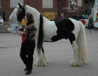 Romany King, imported 1996 Gypsy Vanner Horse stallion