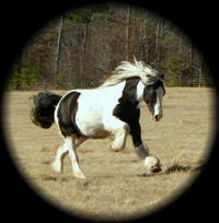 Madam Rosa, 1999 imported Gypsy Vanner Horse mare