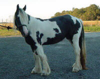 Ruby, imported Gypsy Vanner Horse mare