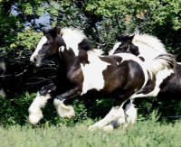 Lake Ridge Sabrina, 2009 Gypsy Vanner Horse filly