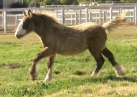 Cici's Saffire, 2009 Gypsy Vanner Horse filly