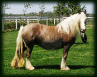 Cici's Saffron Candy, 2002 imported Gypsy Vanner Horse mare