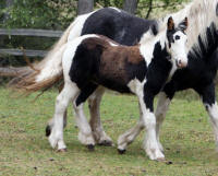 The Sage of Orcas Island, 2007 Gypsy Vanner Horse colt