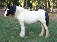 Down's Delight, 2006 imported Gypsy Vanner Horse filly