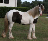 GG Cotton Eyed Joe, 2007 Gypsy Vanner Horse colt