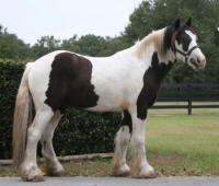 ABC Sweeper of Oz, 2006 Gypsy Vanner Horse gelding
