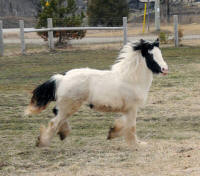 WCF Sashay, 2008 Gypsy Vanner Horse filly