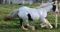 Shireen, imported Gypsy Vanner Horse mare