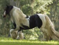 Shogun, imported 1992 Gypsy Vanner Horse stallion