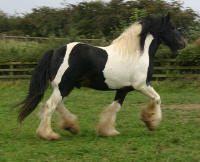 Shogunner, Gypsy Vanner Horse stallion located in England