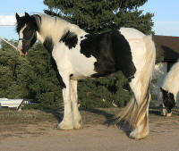 Stout Wild Gypsy Singer, 2002 imported Gypsy Vanner Horse mare