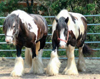 Sterling Spring Call Me Sir & Fantasia,  Gypsy Vanner Horse stallion & mare