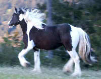Solstice, imported Gypsy Vanner Horse filly