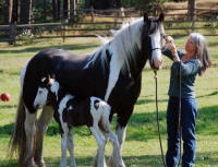 Solstice, imported Gypsy Vanner Horse mare