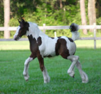 Spice, 2008 Gypsy Vanner Horse filly