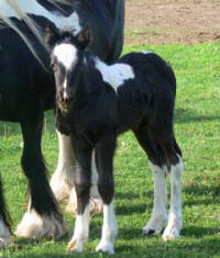 SRS Summer Storm, 2010 Gypsy Vanner Horse filly