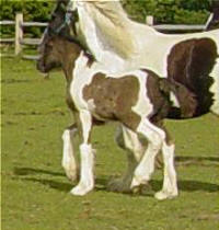 Anna, 2002 Gypsy Vanner Horse filly