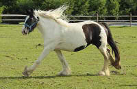 Tessa Rose, imported Gypsy Vanner Horse mare