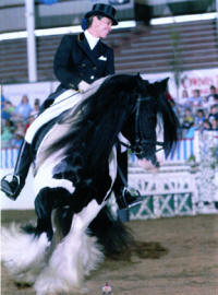 The Gypsy King, imported Gypsy Vanner Horse stallion