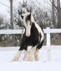 Summer's Tia, 2004 imported Gypsy Vanner Horse mare