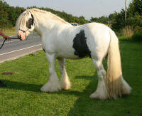 Tid, Gypsy Vanner Horse stallion in the UK