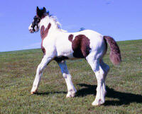EBV Titus, 2004 Gypsy Vanner Horse colt