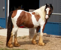 Trionoide of WillowWind Stables, 2013 Gypsy Vanner Horse filly