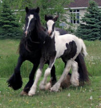Lake Ridge Lady Vines, 2001 imported Gypsy Vanner Horse mare