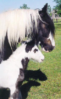 Sovereign & Uno, Gypsy Vanner Horse mare & colt