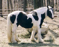 Lady Wisteria, imported Gypsy Vanner Horse mare