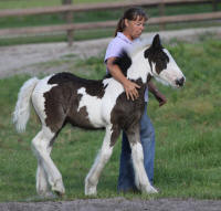 WR Royal Safari, 2010 Gypsy Vanner Horse filly