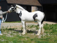 Brawnyn of Mill Cave, 2008 Gypsy Vanner Horse filly