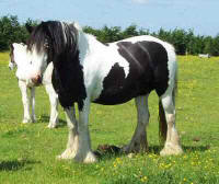 The Indian Mare, Gypsy Vanner Horse in the UK