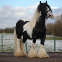 SD King, Gypsy Vanner Horse stallion in the UK
