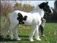 Majestic, 2002 imported Gypsy Vanner Horse stallion