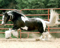 Minnie, 1997 imported Gypsy Vanner Horse mare