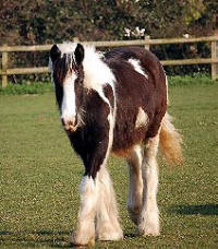 Olivia, 2006 Gypsy Vanner Horse filly