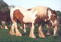 The Red & White Mare, Gypsy Vanner Horse from the UK