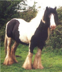 The Old Horse of Wales, Gypsy Vanner Horse stallion in Wales